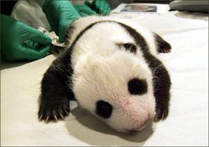 Pandacub_slide9
