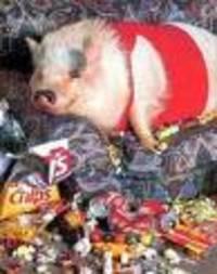 Pig_4